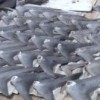 Shark Fins in the Marshall Islands