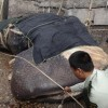 Another Whale Shark caught in China