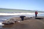 Basking Shark found stranded in Chile