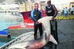 Big Hammerhead Shark caught near Gibraltar Strait