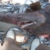 Head of rare shark donated to Melbourne Museum