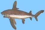 WCPFC Proposal – Conservation Measures for Oceanic Whitetip Sharks