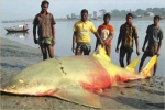 Big Sawfish caught in Bay of Bengal
