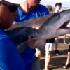 Tiger Shark Tag & Release in Florida