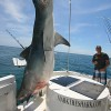 Miami angler lands giant tiger shark