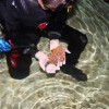 Anne the angel shark becomes a mum – 19 times over