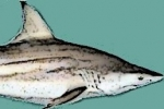 Louisiana to increase the 2016 commercial possession limit for large coastal sharks