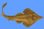 Two new species of guitarfish discovered in Omani waters
