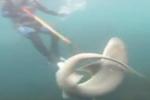 A Curious Sevengill Shark in Cape Bridgewater Australia