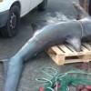 15 Dec 2011 Thresher Shark in Guardamar Spain