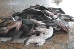 Fishermans gold Shark fin hunt empties west African seas