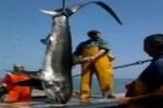 Thresher Shark in Adriatic Sea