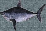 EU pushes for CITES Appendix III listing of Porbeagle Sharks