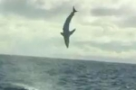 Footage of jumping Mako shark in Tasmania