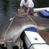 Huge Tiger Shark caught in Aussie Tournament