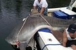 Huge Tiger Shark caught in Aussie Tournament