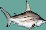 DNA Study on Blacktip Sharks of Aliwal Shoal