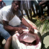 Big Tiger Shark caught off the Northern Dominican Coast