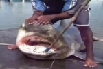 23 April 2012 – Bull Shark caught in Reunion Island