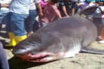April 2012 – Great White Shark caught in Sonora Mexico