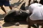 Mexico: 10 ft Tiger Shark caught in Playa del Carmen