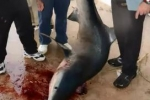 29 April 2012 – Landbased Capture of Blue Shark in Cullera Spain