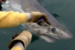 Jaw-Dropping: Huge Porbeagle Shark Caught Off Cornwall