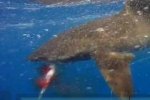 Oceanic Whitetip Shark versus Tuna