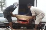 Huge Hammerhead Shark in Dubai