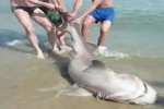 Sixgill Shark found stranded in Salou
