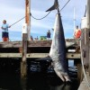 Giant Mako Shark caught off Rhode Island