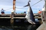 Giant Mako Shark caught off Rhode Island