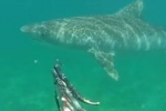 Another Video: Spearfisherman encounters Tiger Shark in Hawaii