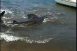 Basking Shark Nearly Strands Itself In Cape Cod River