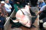 Dead great white shark retrieved from Dyer Island, Gansbaai