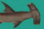 WildEarth Guardians submits petition to list the great hammerhead shark under ESA