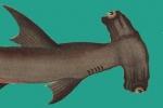EU Hammerhead Shark Proposal Rejected at 83rd IATTC Meeting
