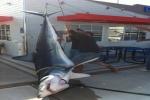 Big Mako Sharks caught in Californian Waters