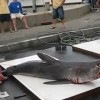 26th Annual Oak Bluffs Monster Shark Tournament