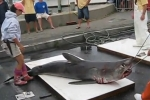 26th Annual Oak Bluffs Monster Shark Tournament