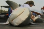 Tiger and bull sharks caught in Alabama Deep Sea Fishing Rodeo 2012