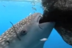 Whale shark sucks fish out of hole in fishing net