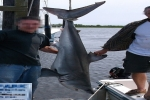 Shark ID Puzzle – Great White or Mako Shark landed in Long Island
