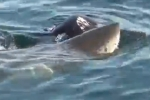 Great White Shark Attacks Seal off Chatham – August 2012