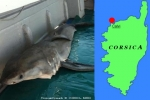 Great White Shark caught in Corsica and other Shark Records from France