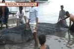 Whale shark found dead in Philippines