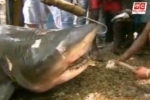 Huge Bull Shark caught in Sri Lanka