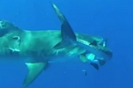 Giant tiger shark attempts to eat smaller one