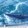 New Tagging Research Documents Remarkable Mako Shark Journey