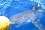Great White Shark filmed in New Caledonia